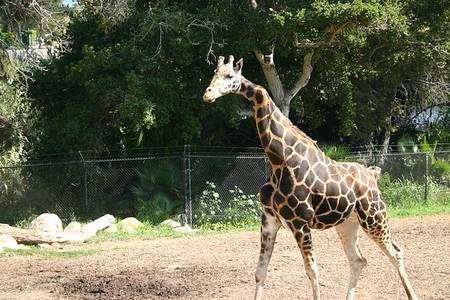 File:Gemina (giraffe) at Santa Barbara Zoo.jpg